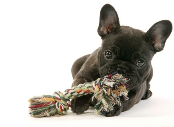 LA-745 DOG - French Bulldog Puppy Chewing toy Jean Michel Labat Please note that prints are for personal display purposes only and may not be reproduced in any way. contact details: prints@ardea.com tel: 020 8318 1401