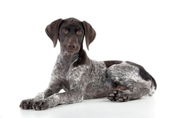 JD-23626 DOG - German Shorthaired Pointer - laying down John Daniels