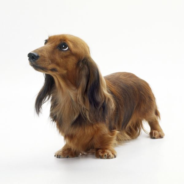 dog miniature long haired dachshund jd 19477 dog miniature