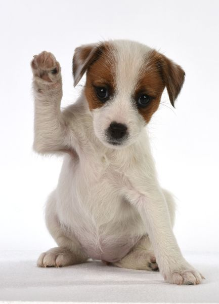 dog parson jack russell puppy 8 weeks old with paw up waving
