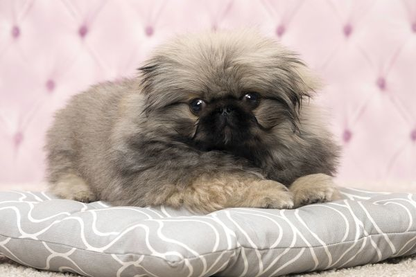 Dog Pekingese 3 month old puppy Date