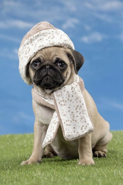 Prints of Dog Pug puppy wearing hat and scarf Date  11384989 461d5dd7990