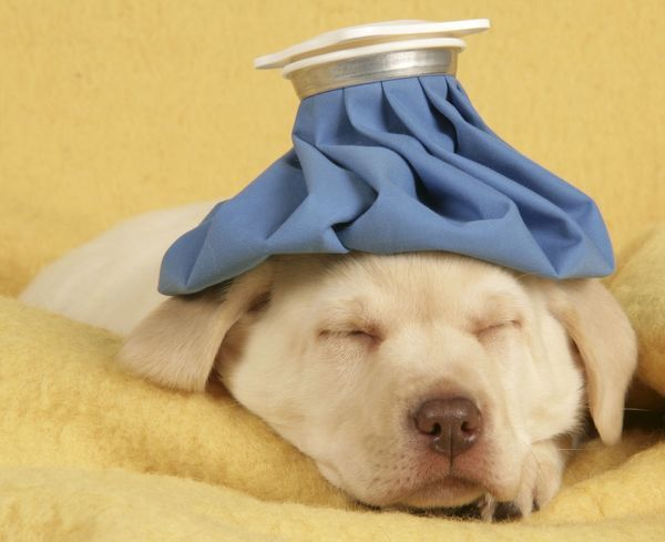 Dog Puppy With Ice Bag On Head