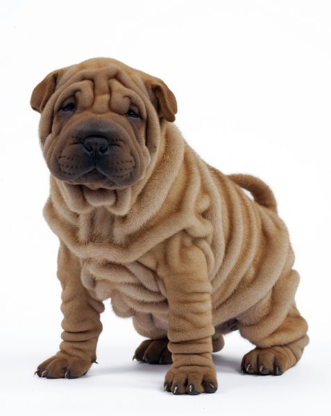 dog shar pei puppy photo prints 10487882 media. Black Bedroom Furniture Sets. Home Design Ideas