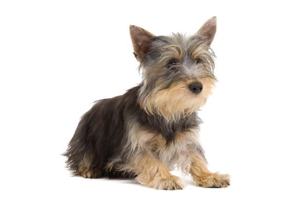 Dog - Silky Terrier puppy Date