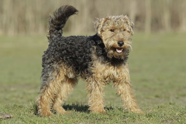 Dog - Welsh Terrier Date