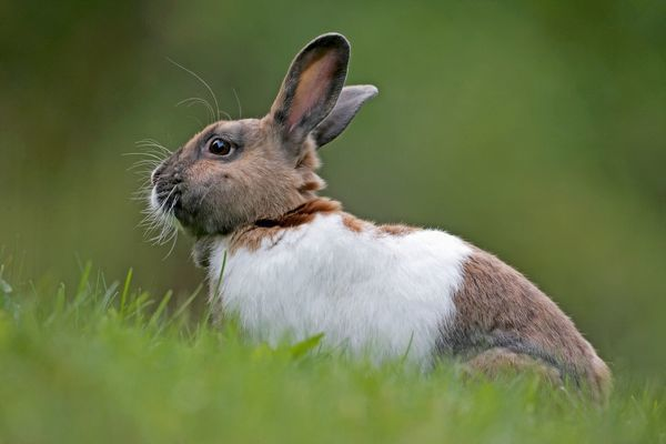 Domestic Rabbit - brown and white sitting in grass (Oryctolagos cuniculus) Date
