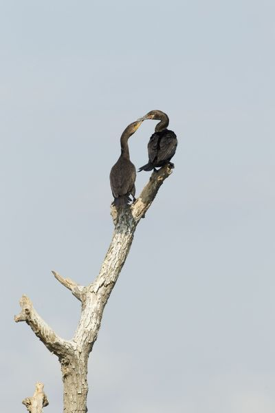 Double-crested Cormorant - squabbling over perch