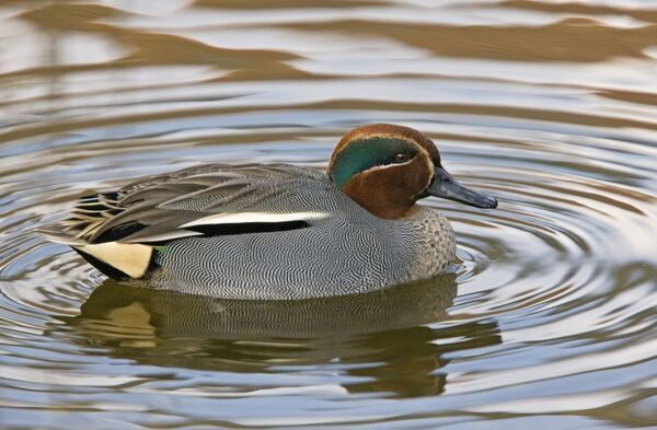Eurasian Teal - male on water (Anas crecca) Date