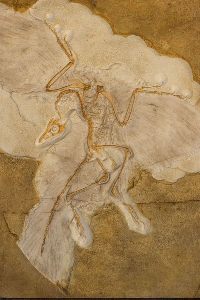 "CAN-2452 Fossil Bird Archaeopteryx Cast - Original specimen in Berlin - Germany Known as ""the first bird"" with both dinosaurian and avian features which some say represents a ""missing link"" between dinosaurs and birds - Had"