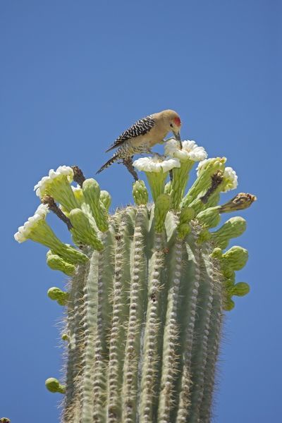 Gila Woodpecker Feeding On Nectar And Insects In The 1448753