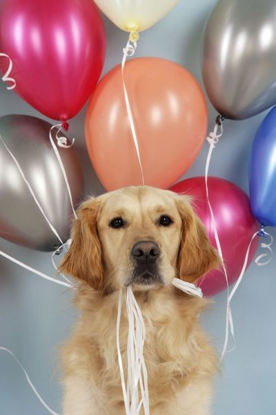 Golden Retriever Dog Holding Balloons Jd 19806 Golden