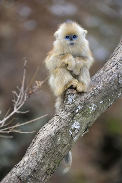Golden Snub Nosed Monkey Baby Rhinopithecus Roxellana