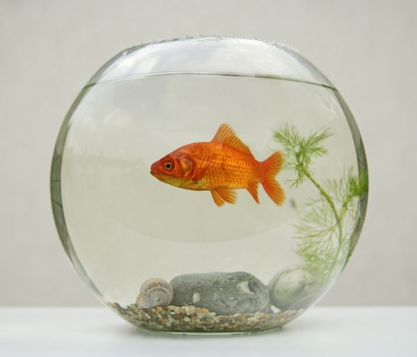 goldfish-in-goldfish-bowl-with-weed-645258.jpg