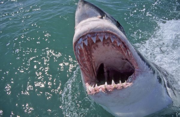 Great White Shark Mouth