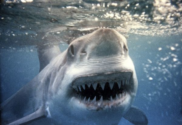 VT-2255-M Great White / White / White Pointer SHARK - underwater close up of head and open mouth