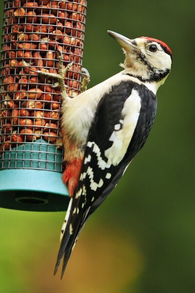Greater Spotted Woodpecker - juvenile male on feeder (Dendrocopus major) Date