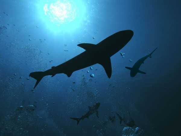 Grey Reef Sharks - swim through the divers bubbles without fear