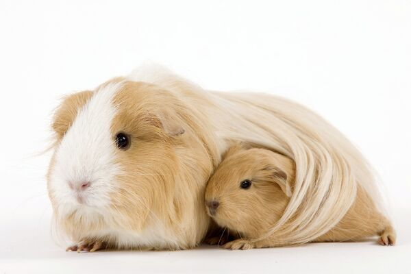 Speed Dating - Cavy Haven Guinea Pig Rescue