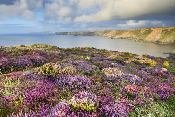 Heathland - North Cliffs - near Camborne - Cornwall - UK