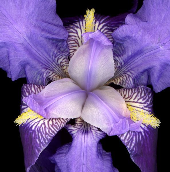 WAT-15395 Iris flower Provence - France M. Watson Please note that prints are for personal display purposes only and may not be reproduced in anyway
