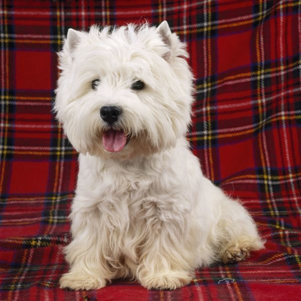 JD-12435E West Highland White Terrier Dog - on tartan rug Westie / Westies John Daniels Please note that prints are for personal display purposes only and may not be reproduced in any way