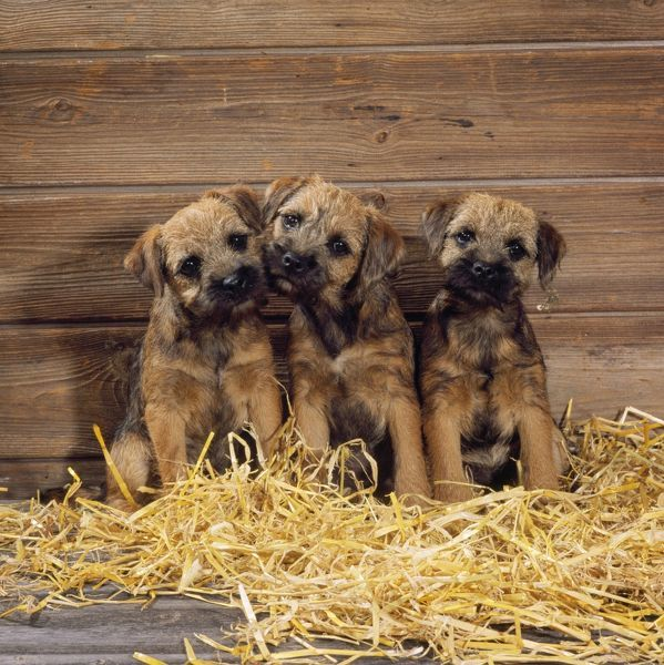 JD-15725 Border Terrier Dog - puppies in barn John Daniels Please note that prints are for personal display purposes only and may not be reproduced in any way