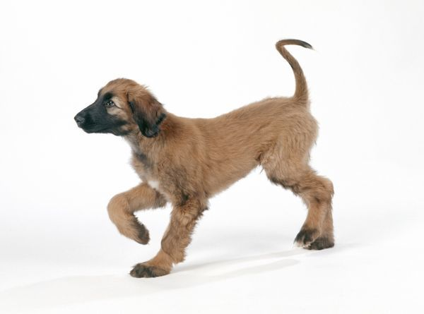 JD-16048 DOG - Afghan hound puppy, standing side profile John Daniels