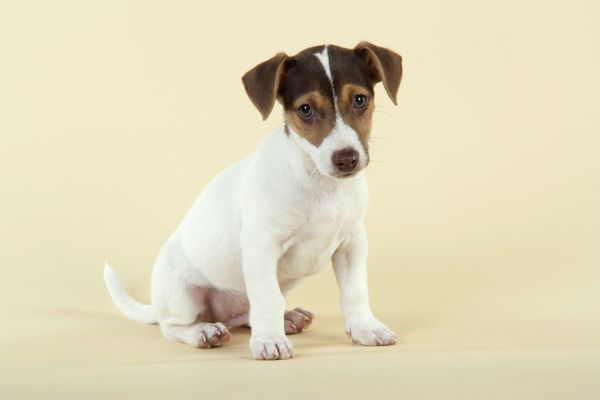 JD-20222 Dog - Jack Russell Terrier puppy