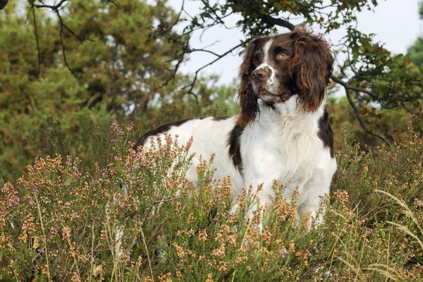 JD-21252 DOG. English springer spaniel standing in heather John Daniels Please note that prints are for personal display purposes only and may not be reproduced in anyway