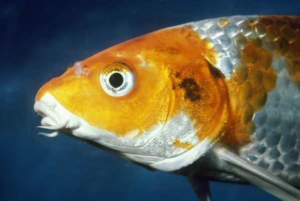 Koi carp close up of head pm 7088 koi carp close up for Acheter carpe koi