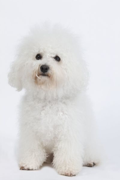 LA-6667 Dog - Bichon Frise - in studio Also known as Tenerife Dog Jean-Michel Labat Please note that prints are for personal display purposes only and may not be reproduced in any way