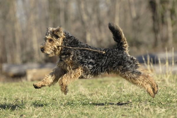 LA-7212 Dog - Welsh Terrier Jean-Michel Labat Please note that prints are for personal display purposes only and may not be reproduced in any way