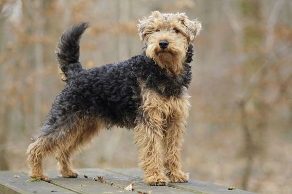 LA-7226 Dog - Welsh Terrier  Jean-Michel Labat Please note that prints are for personal display purposes only and may not be reproduced in any way