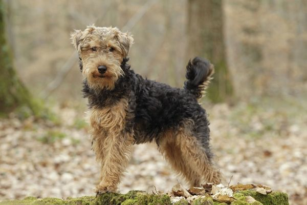 LA-7230 Dog - Welsh Terrier  Jean-Michel Labat Please note that prints are for personal display purposes only and may not be reproduced in any way