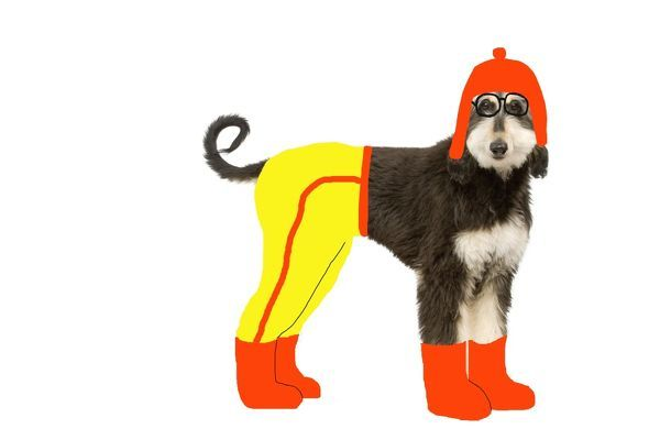 LA-8342 Dog - Afghan Hound puppy in studio 'wearing' trousers, boots & hat. Jean-Michel Labat Please note that prints are for personal display purposes only and may not be reproduced in any way
