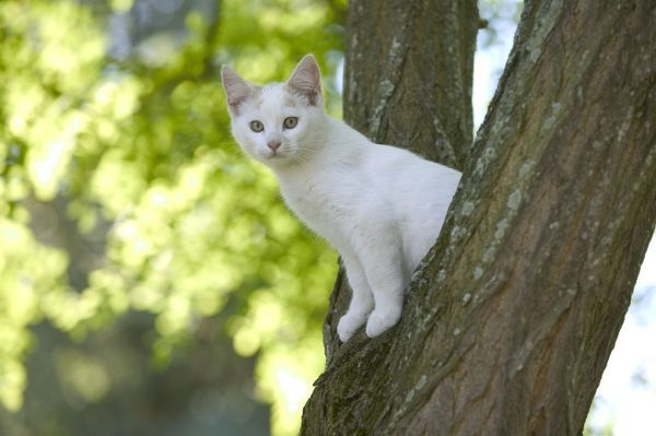 bbd8c26f62 LA-8644 Cat - White kitten in tree Jean-Michel Labat Exclusive  Not ...