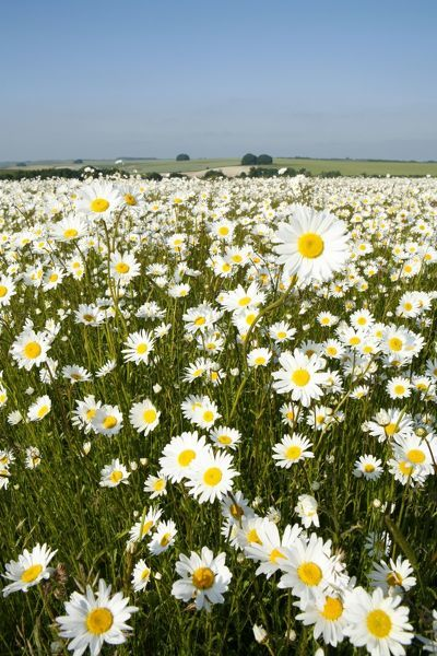 JOP-93 Ox-Eye Daisies - every one of this huge mass of flowers has turned to face the sun - Chalk downlands North Wessex Downs at West Kennet near Marlborough - Wiltshire - UK Leucanthemum vulgare Jonathan Player Please note that prints are