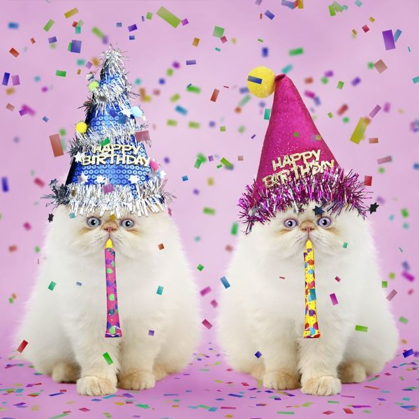 Persian Seal Point Kittens Wearing Happy Birthday Party Hats And
