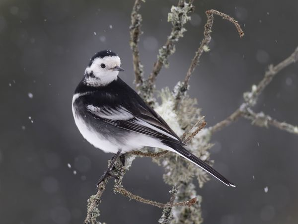 Pied Wagtail in snow January Date