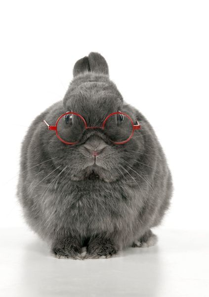 RABBIT - Dwarf rabbit wearing glasses Date - Canvas Print - 10531269 from Media Storehouse