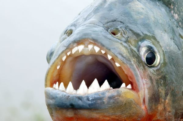 Red Bellied Piranha Close Up Of Teeth Wat 8420 Red