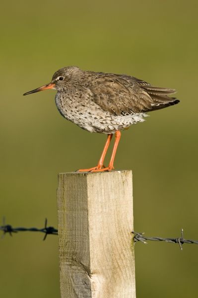 Redshank - on fence post with barbed wire
