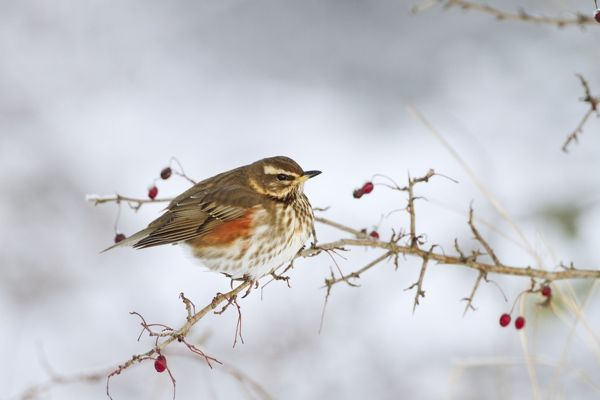 Redwing - in winter perched on a bush with red