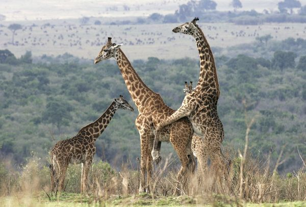 Reticulated Giraffe - pair, mating. - WAT-9283 Reticulated ...  Reticulated Gir...