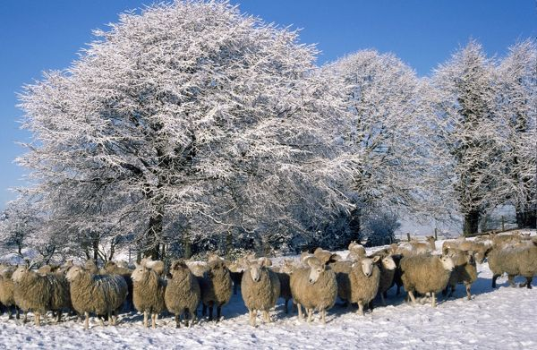 RTS-1870-m Sheep - in snow Scotland R T Smith Please note that prints are for personal display purposes only and may not be reproduced in any way. contact details: prints@ardea.com tel: + 44 (0) 20 8318 1401