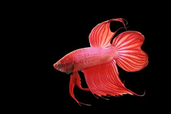Siamese fighting fish red form male full display bb for Siamese fighting fish crossword