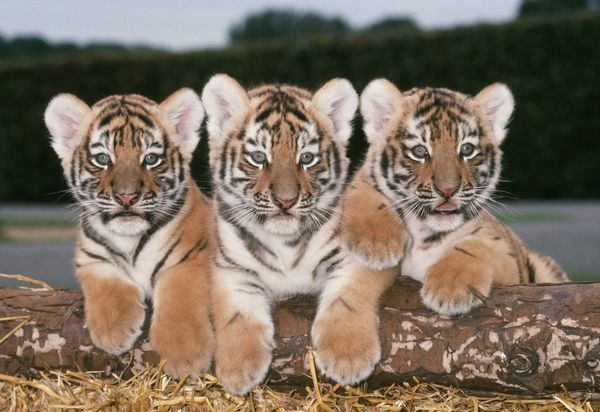 Siberian Amur Tiger Cubs X Three In A Row Jd 5961
