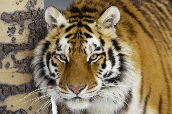 TOM-1601 Siberian Tiger / Amur Tiger Panthera tigris Tom & Pat Leeson Please note that prints are for personal display purposes only and may not be reproduced in any way