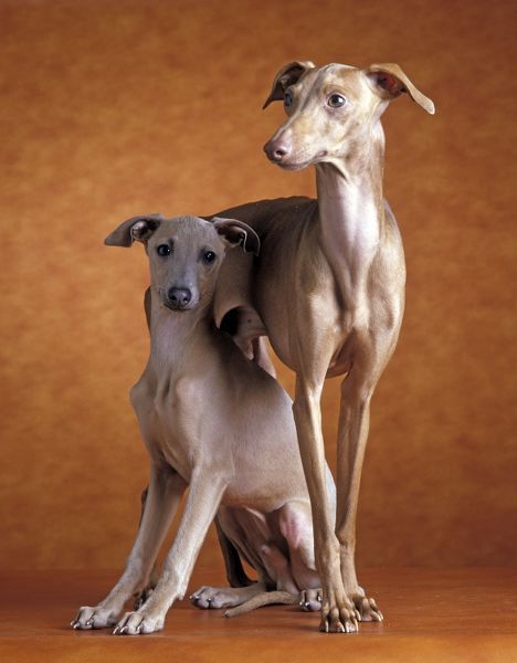 Small Italian Greyhounds - Two together - LA-1350 Small ...